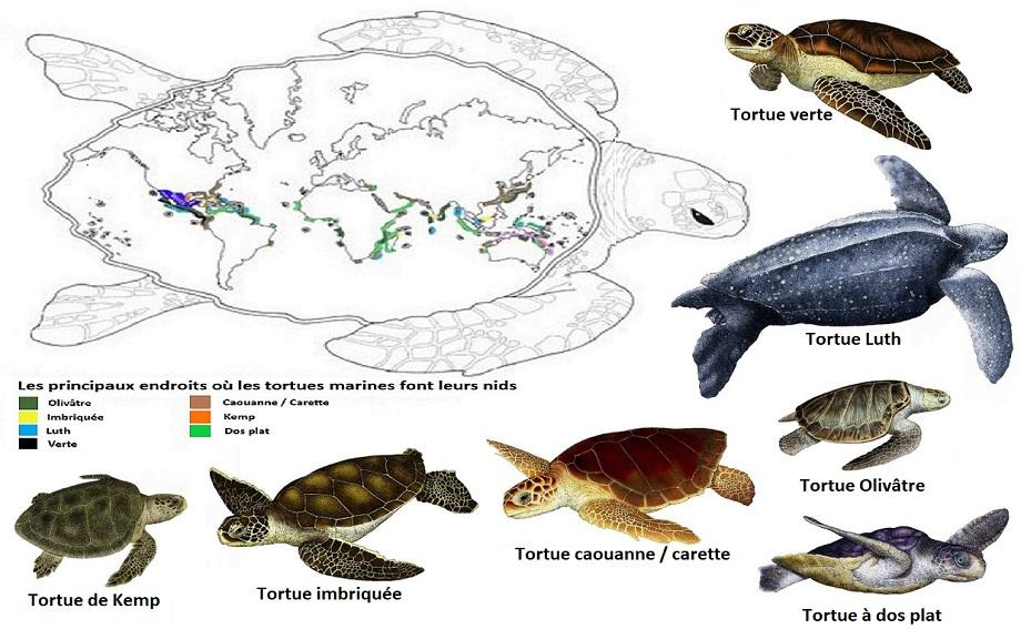 tortues espèces